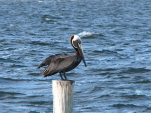 Pelican in Hillsborough Bay